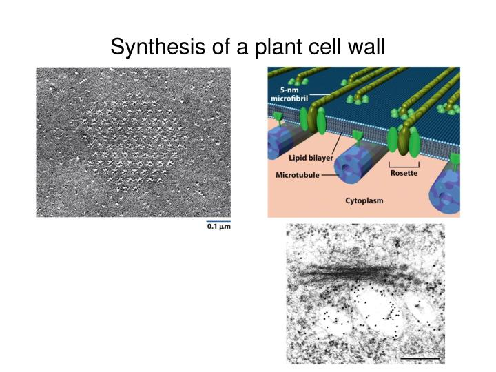 Synthesis of a plant cell wall