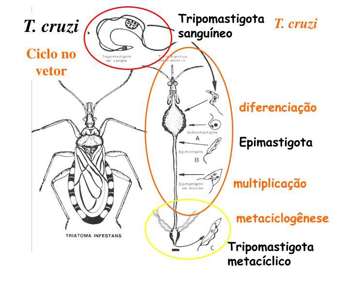 Tripomastigota