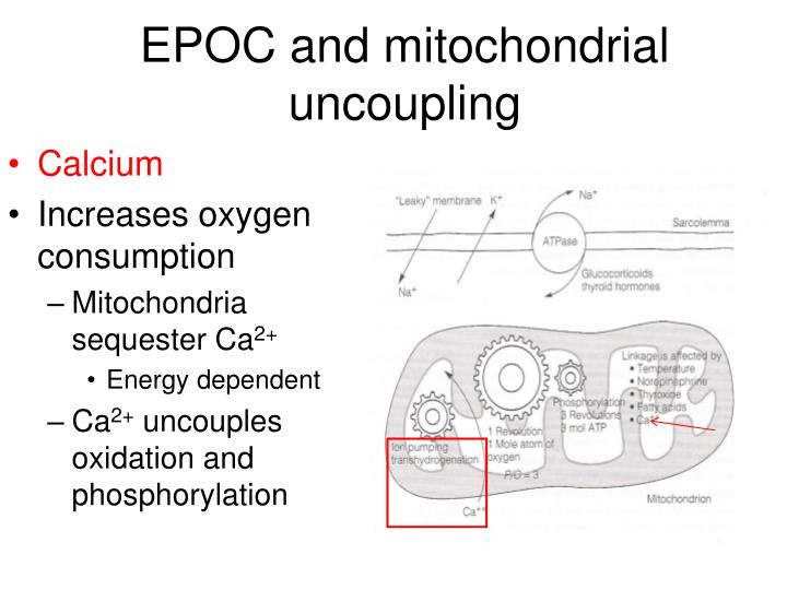 EPOC and mitochondrial uncoupling