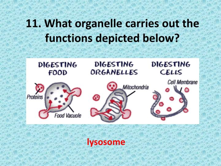 11. What organelle carries out the functions depicted below?