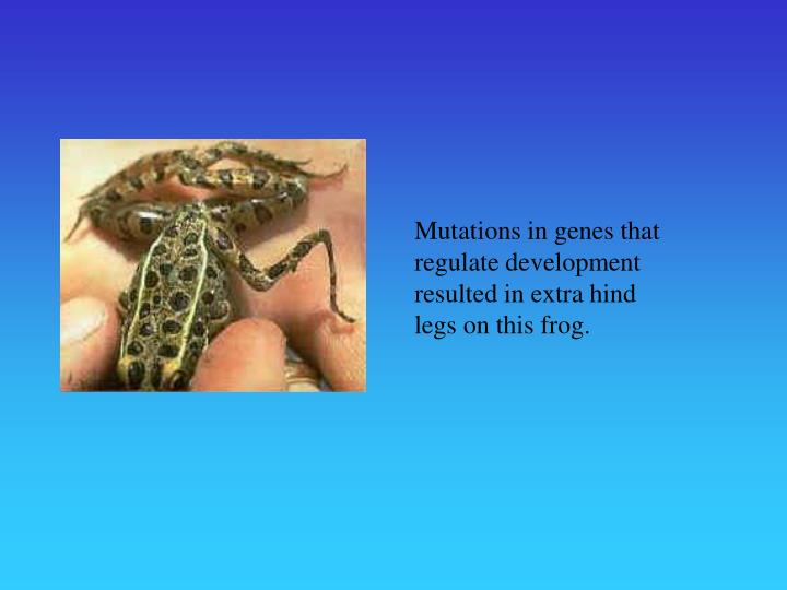 Mutations in genes that regulate development resulted in extra hind legs on this frog.