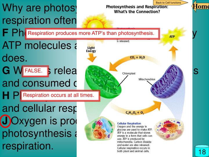 Why are photosynthesis and cellular respiration often considered opposites?