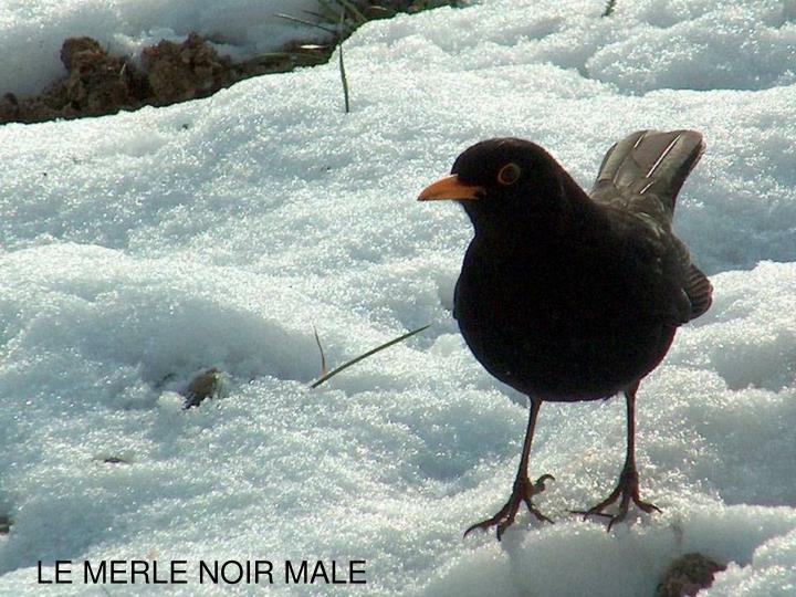 LE MERLE NOIR MALE