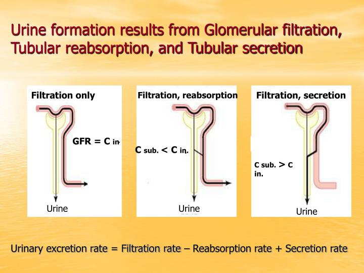 Urine formation results from Glomerular filtration, Tubular reabsorption, and Tubular secretion