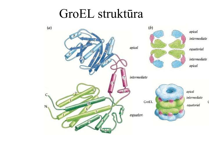 GroEL struktūra