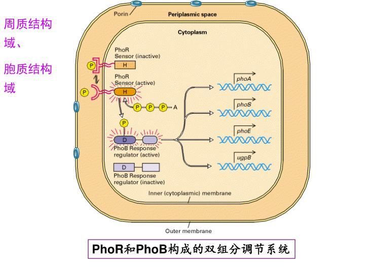 周质结构域、