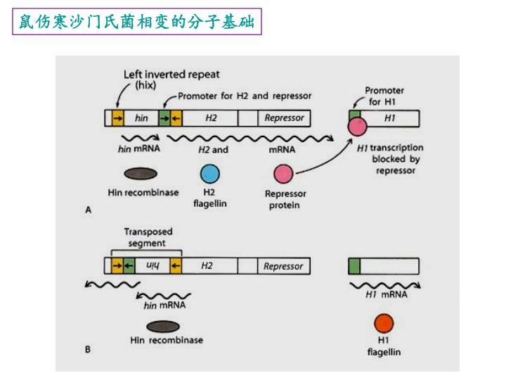 鼠伤寒沙门氏菌相变的分子基础