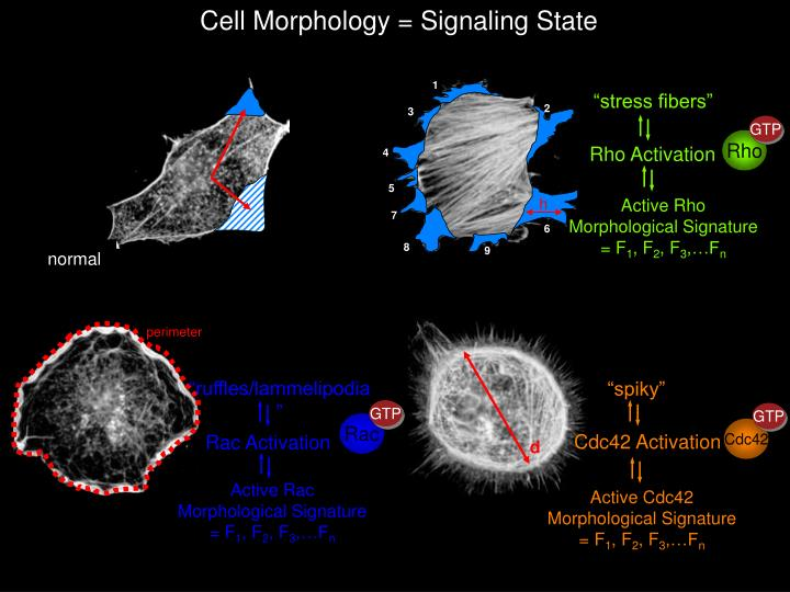 Cell Morphology = Signaling State