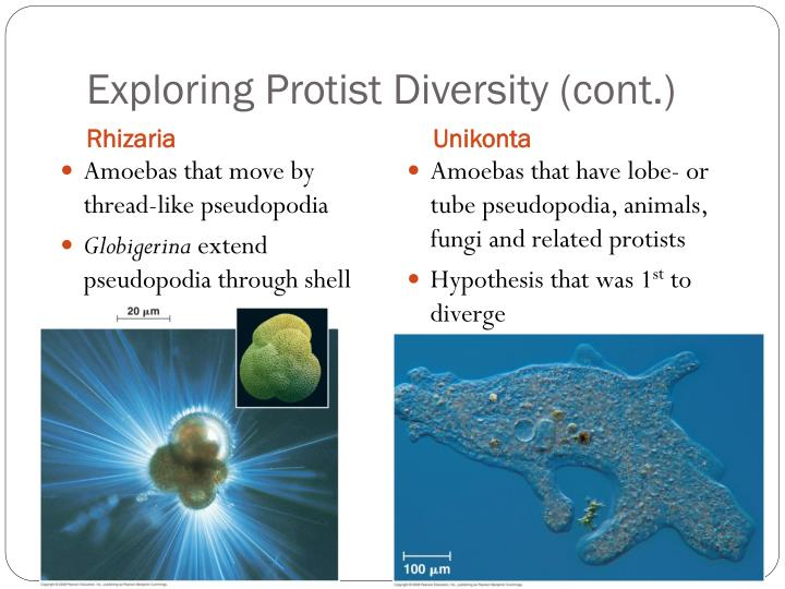 Exploring Protist Diversity (cont.)