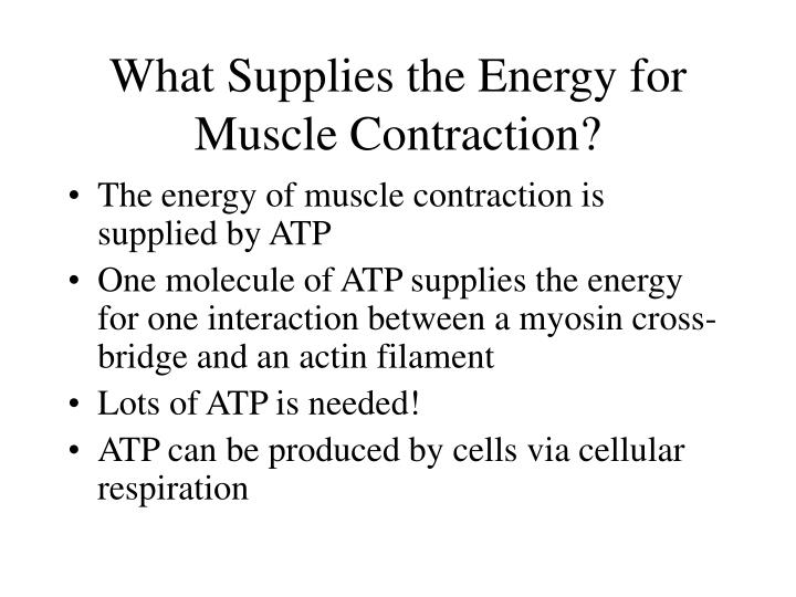 What Supplies the Energy for Muscle Contraction?