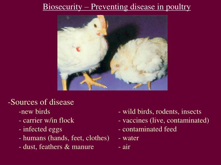 Biosecurity – Preventing disease in poultry