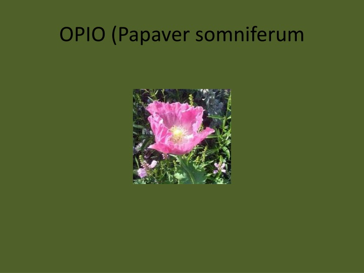 Opio papaver somniferum