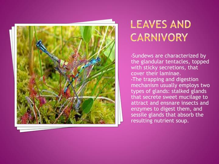 Leaves and carnivory