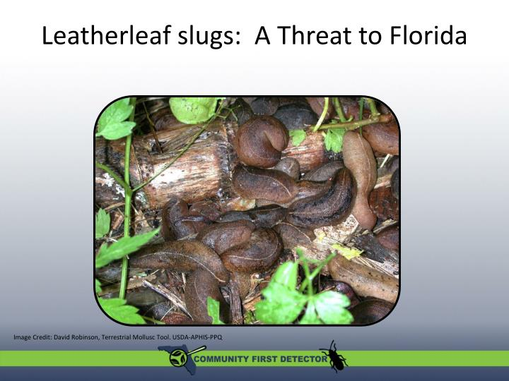 leatherleaf slugs a threat to florida