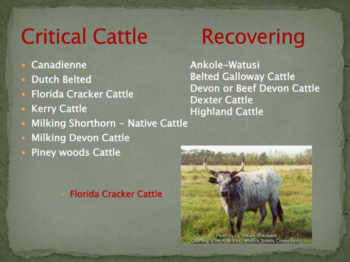 Critical Cattle         Recovering