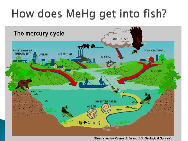 How does mehg get into fish