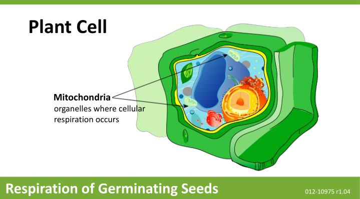 Ppt Mitochondria Powerpoint Presentation Free Download Id 1545698
