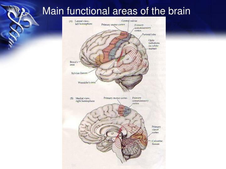 Main functional areas of the brain
