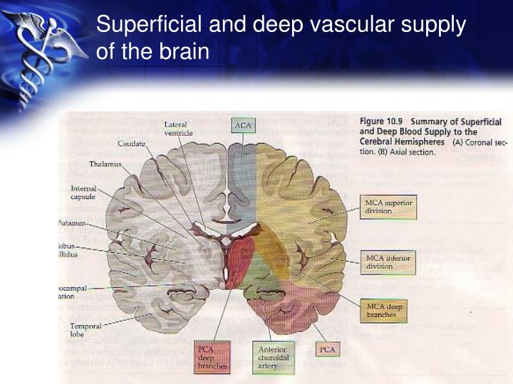 Superficial and deep vascular supply of the brain