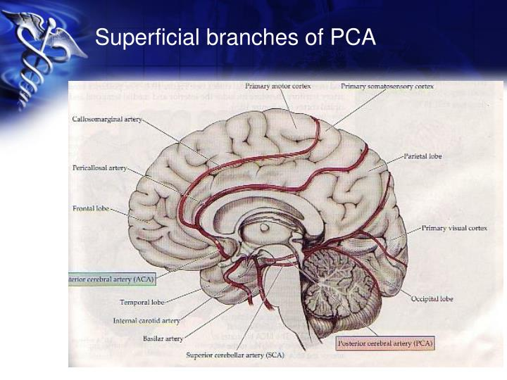 Superficial branches of PCA