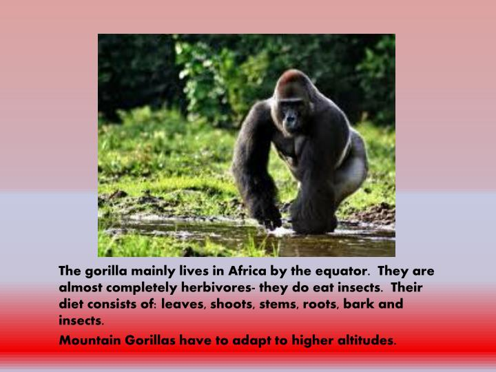 The gorilla mainly lives in Africa by the equator.  They are almost completely herbivores- they do eat insects.  Their diet consists of: leaves, shoots, stems, roots, bark and insects.