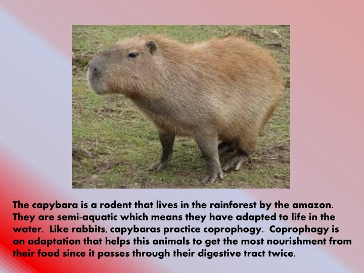 The capybara is a rodent that lives in the rainforest by the amazon.  They are semi-aquatic which means they have adapted to life in the water.  Like rabbits, capybaras practice coprophogy.  Coprophagy is an adaptation that helps this animals to get the most nourishment from their food since it passes through their digestive tract twice.
