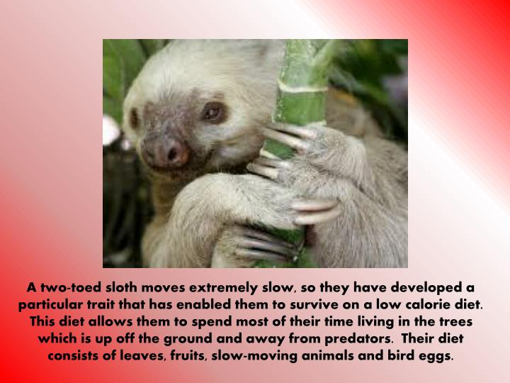 A two-toed sloth moves extremely slow, so they have developed a particular trait that has enabled them to survive on a low calorie diet.  This diet allows them to spend most of their time living in the trees which is up off the ground and away from predators.  Their diet consists of leaves