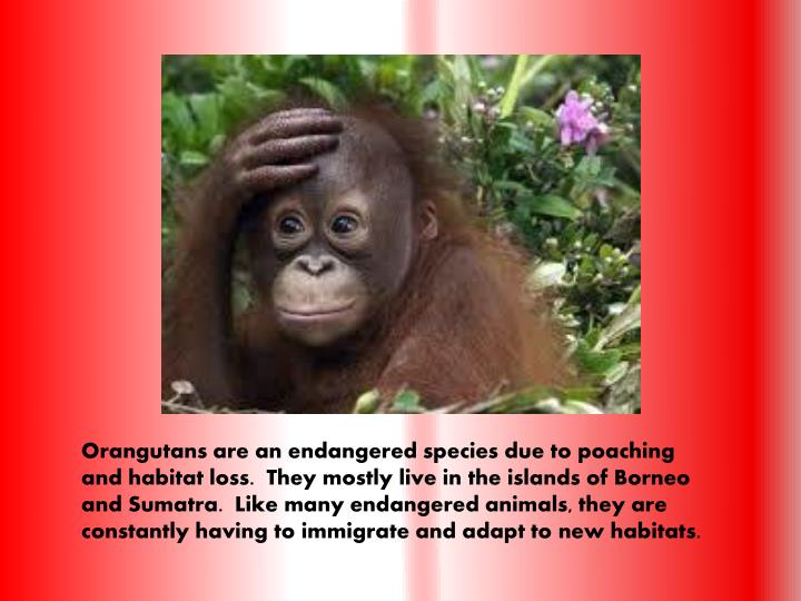 Orangutans are an endangered species due to poaching and habitat loss.  They mostly live in the islands of Borneo and Sumatra.  Like many endangered animals, they are constantly having to immigrate and adapt to new habitats.