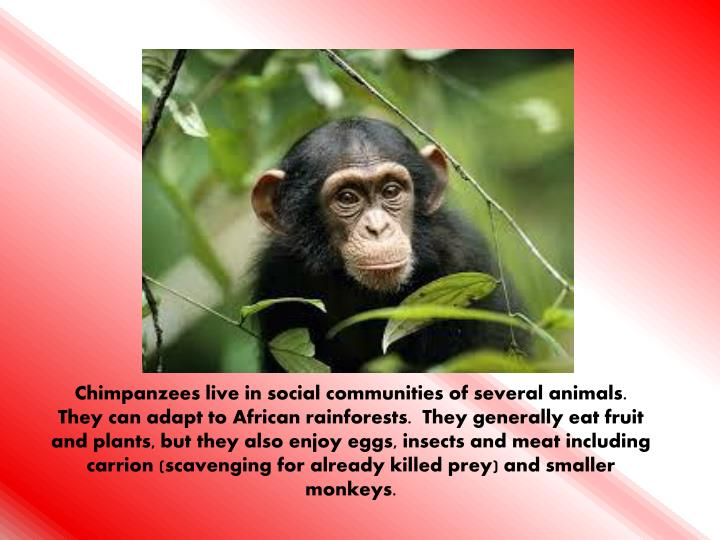 Chimpanzees live in social communities of several animals.  They can adapt to