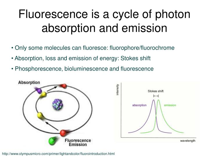 Fluorescence is a cycle of photon absorption and emission