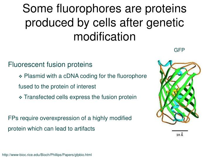 Some fluorophores are proteins produced by cells after genetic modification