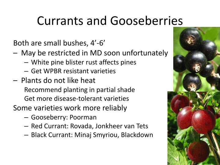 Currants and Gooseberries
