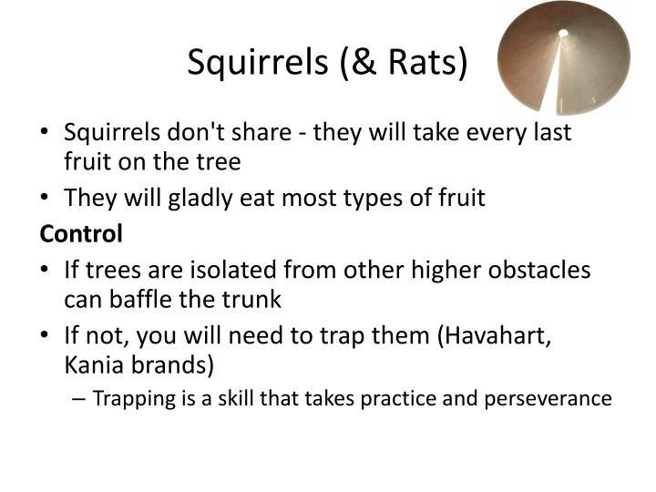 Squirrels (& Rats