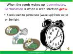 when the seeds wakes up it germinates germination is when a seed starts to grow