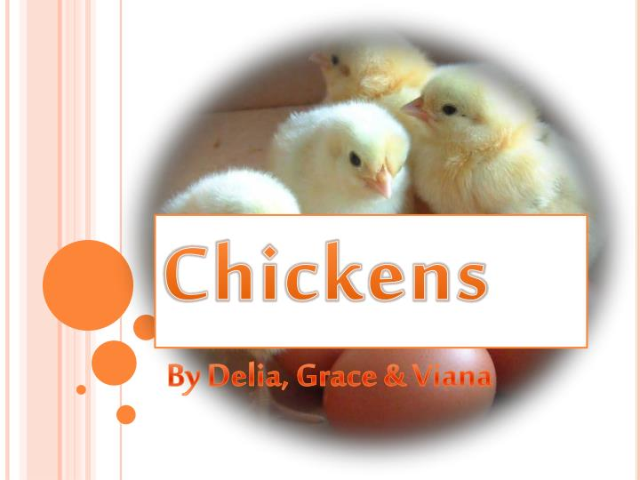 chickens n.