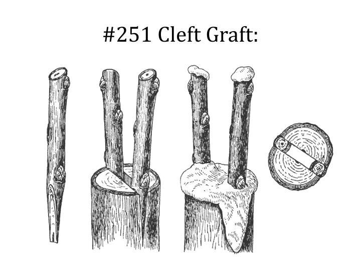 251 cleft graft