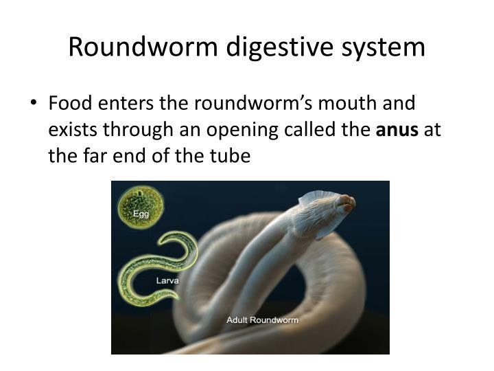 Roundworm digestive system
