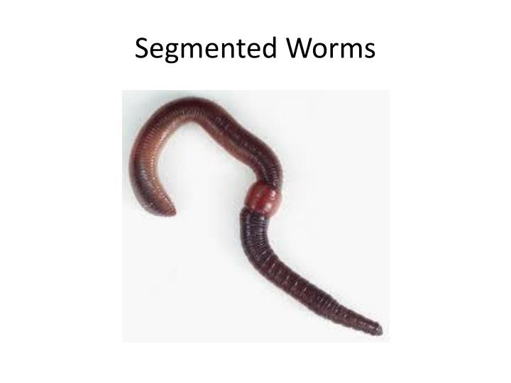 Segmented Worms