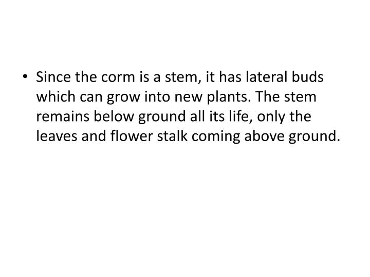 Since the corm is a stem, it has lateral buds which can grow into new plants. The stem remains below ground all its life, only the leaves and flower stalk coming above