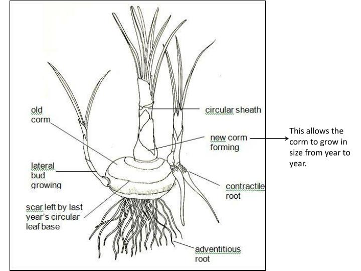 This allows the corm to grow in size from year to year.