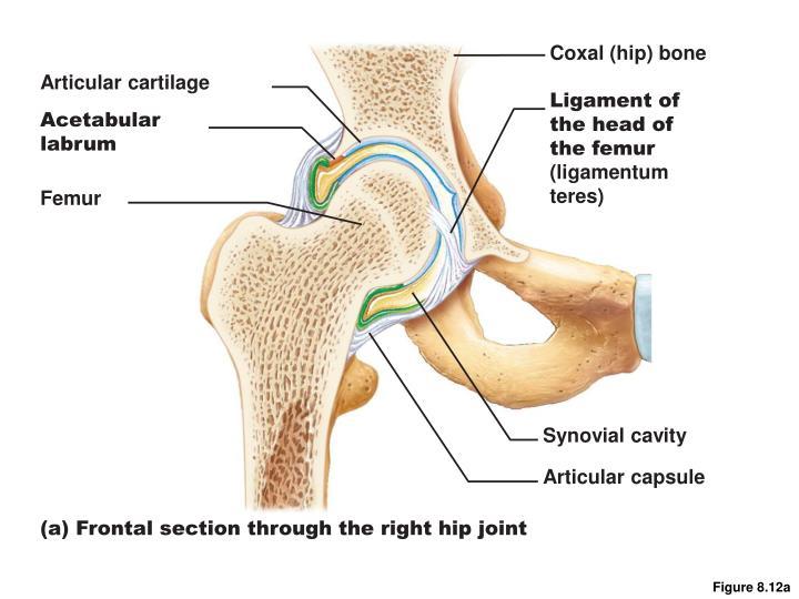 Coxal (hip) bone