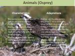 animals osprey