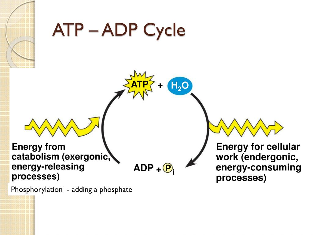 LEQ: What is the role of ATP in cellular activities? - PowerPoint PPT Presentation
