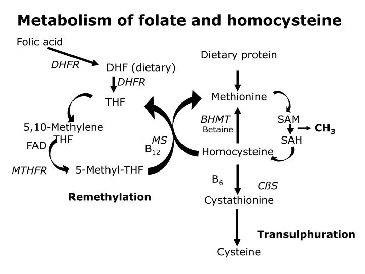 Metabolism of folate and homocysteine