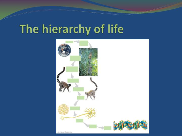 the hierarchy of life n.