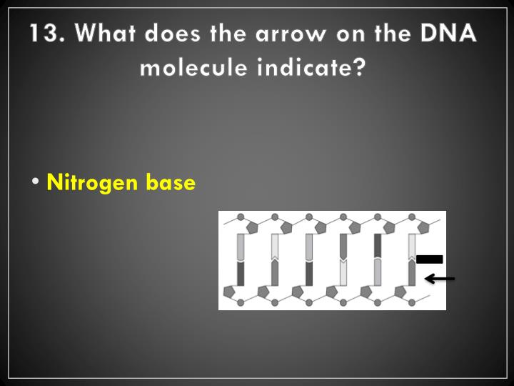 13. What does the arrow on the DNA molecule indicate?