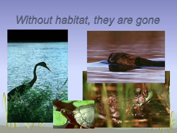 Without habitat they are gone