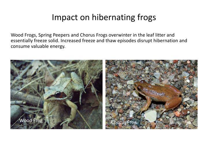 Impact on hibernating frogs