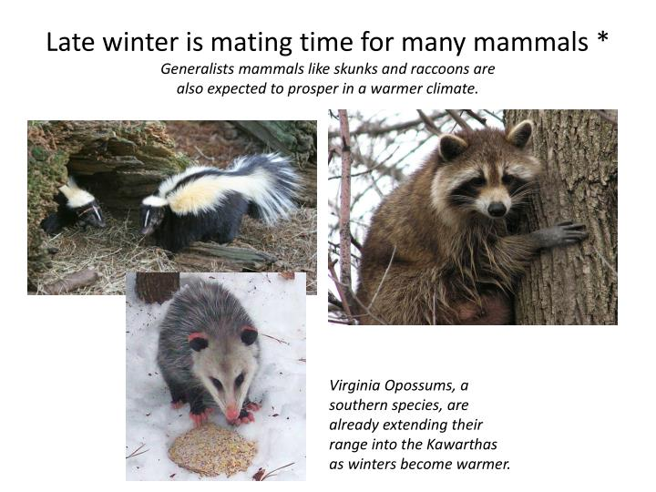 Late winter is mating time for many mammals *