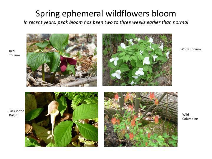 Spring ephemeral wildflowers bloom